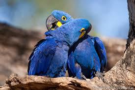 preening macaws